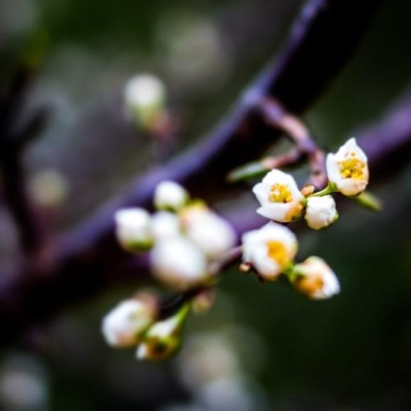 More Flowers on the Plum Tree