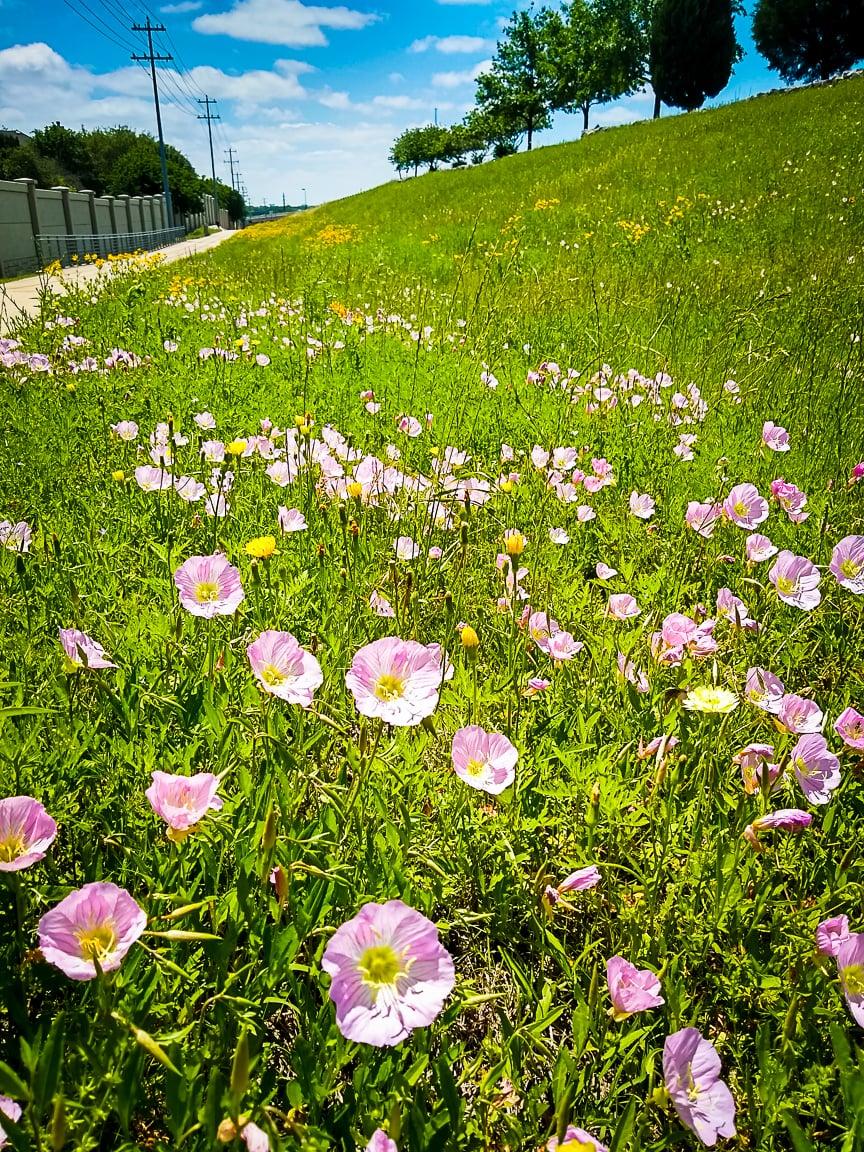 """""""Wildflowers"""" Cedar Park, 2019"""